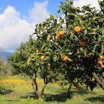 Motta Sant'Anastasia. Rubano mezza tonnellata di arance: arrestati