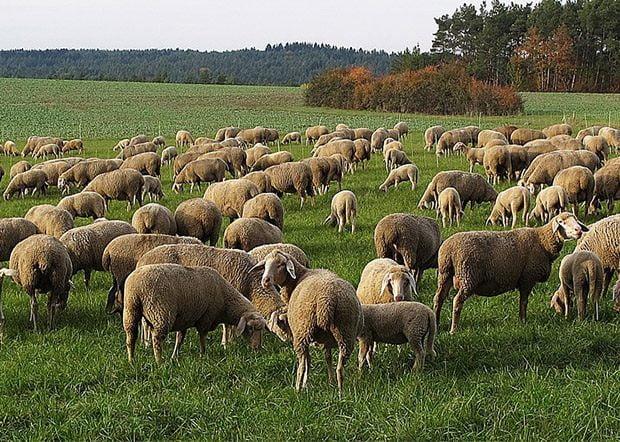 Paternò. Centinaia di pecore morte: sono state uccise